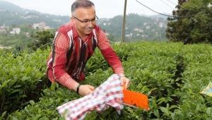 Vali Kemal Çeber, Çay Sezonu Açılışında Çay Hasadı Yaptı