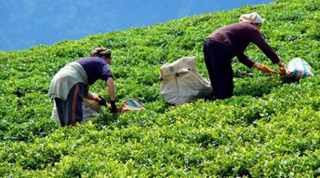 ÇAYKUR tarihinin en büyük ikinci yaş çay alımını yaptı